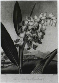 tulips [&] the superb lily [&] the indian reed [&] nodding renealmia [med: stipple, in colours w/ hand color] by reinagle
